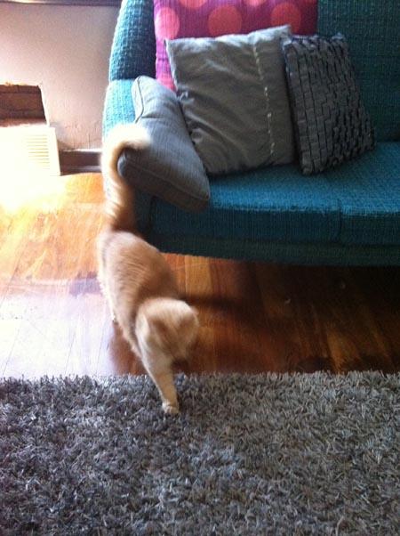 Tail curl says maaaaine.